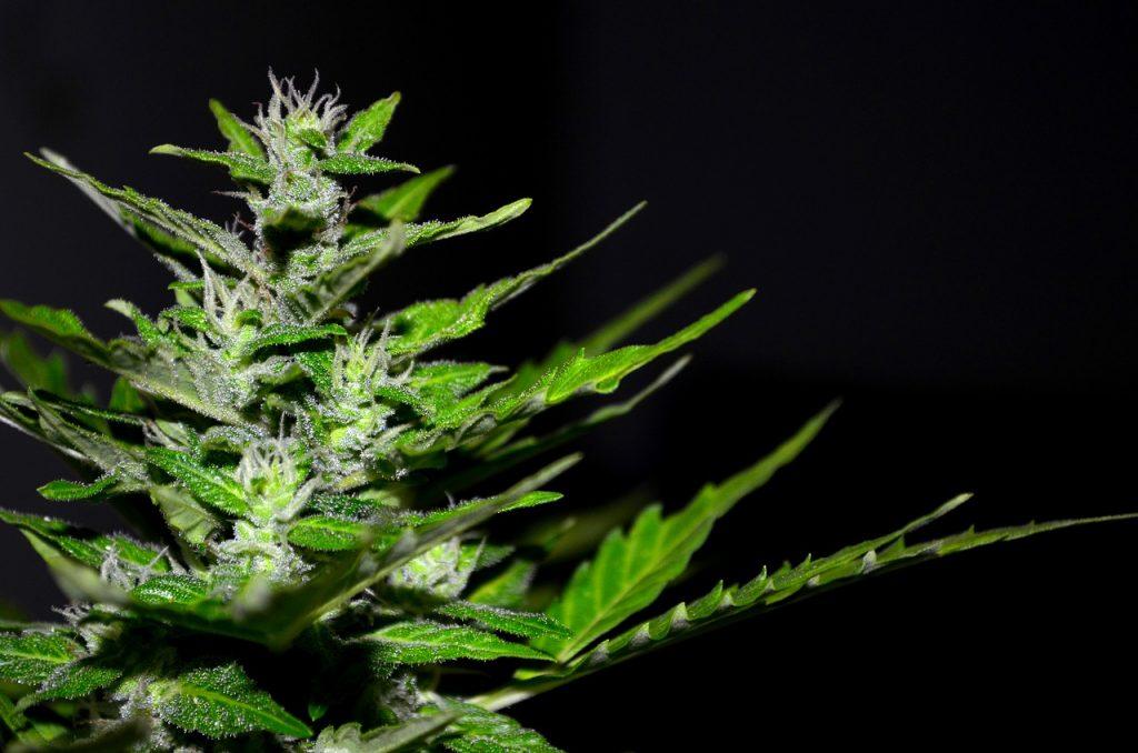 Medicamentos Basados En Marihuana Avanza El Cannabis Medicinal En Colombia